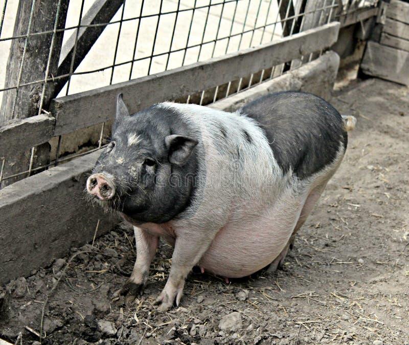 Porc enceinte photos libres de droits