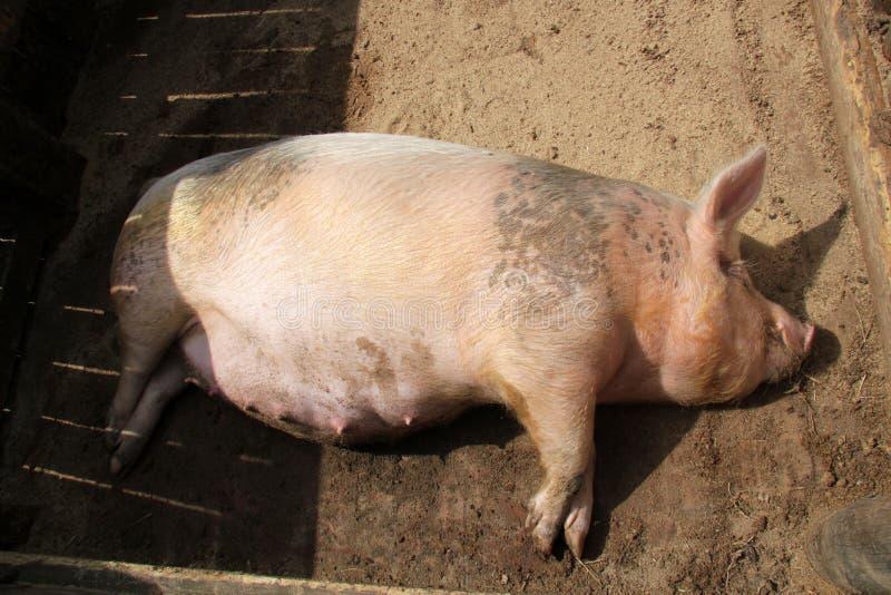 Porc enceinte photo libre de droits