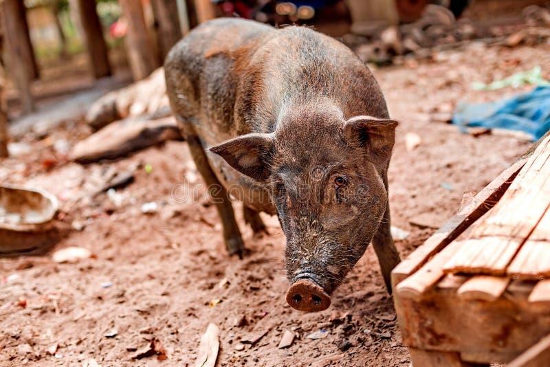 Porc enceinte noir à la ferme gratuite de gamme photo stock