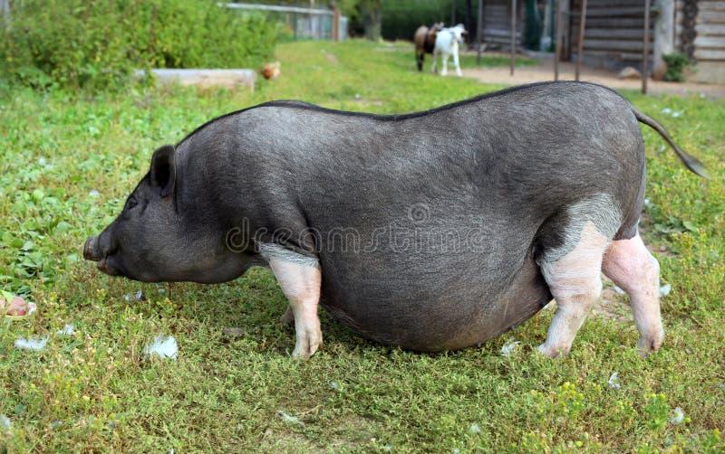 Porc enceinte noir et blanc à la ferme gratuite de gamme photographie stock libre de droits