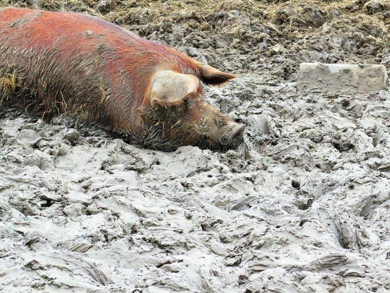 Porc et boue photo stock