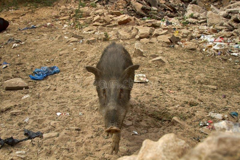 Porc et homme long-coupés la queue laineux sur la rue photographie stock