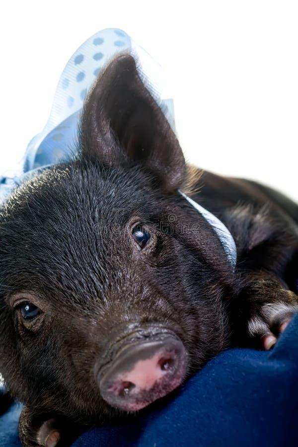 Porc fatigué se couchant photos libres de droits