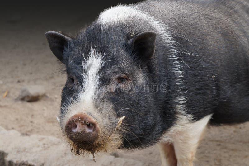 Porc gonflé par bac image libre de droits
