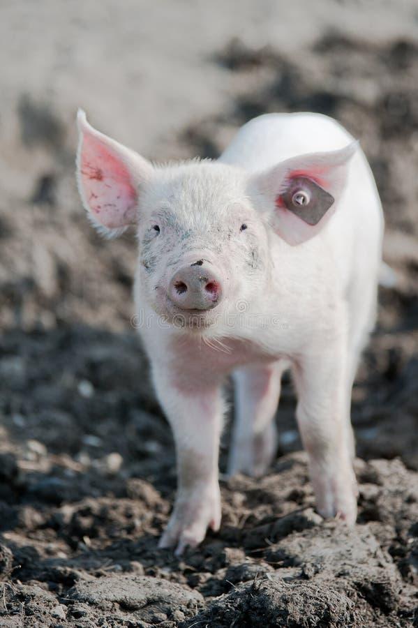 Porc heureux images stock