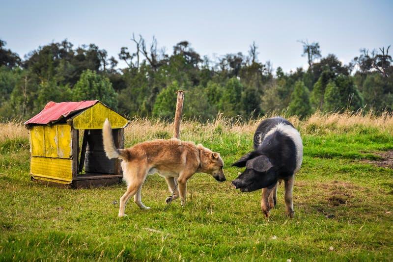 Porc jouant avec le chien, île de Chiloe, Chili photo libre de droits