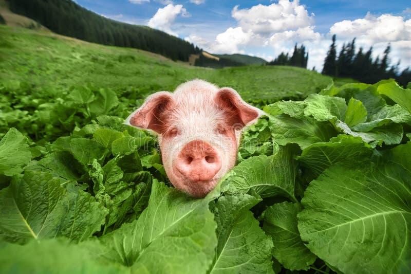 Porc mignon frôlant au pré d'été au pâturage de montagnes photos libres de droits