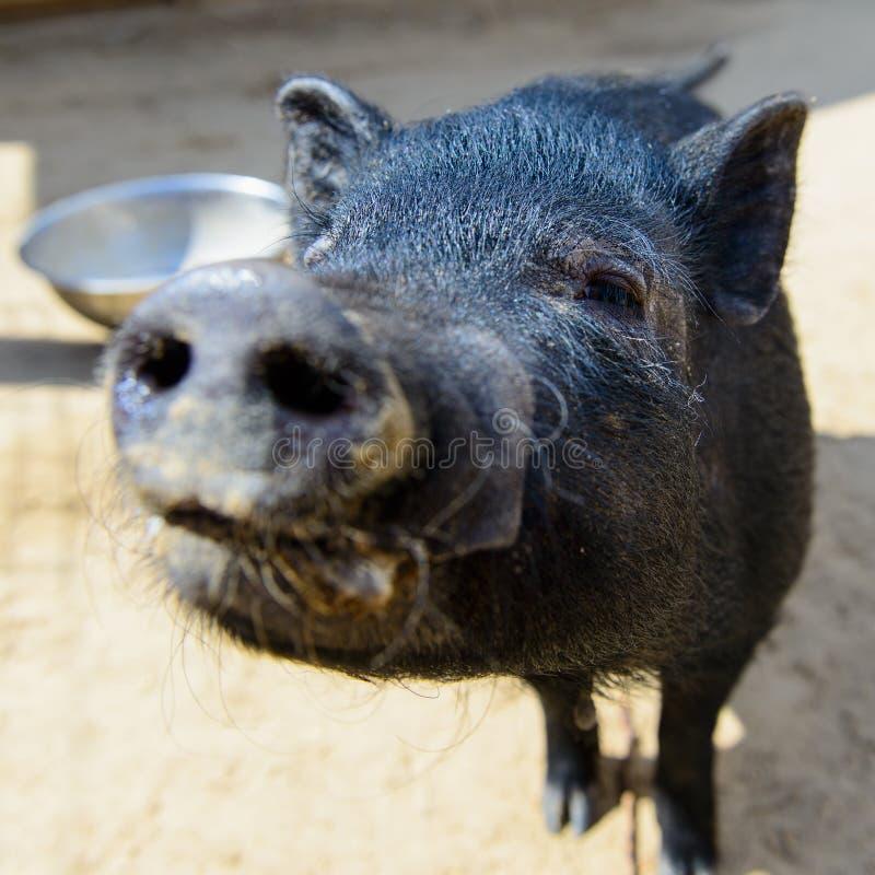 Porc noir animal images stock