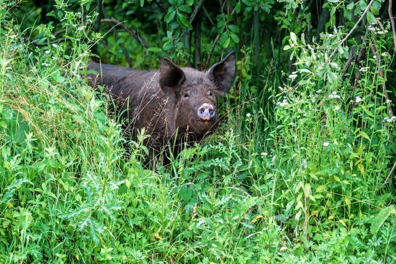 Porc noir dans l'herbe image stock