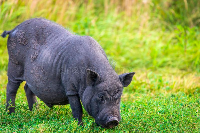 Porc pot-bellied vietnamien images stock