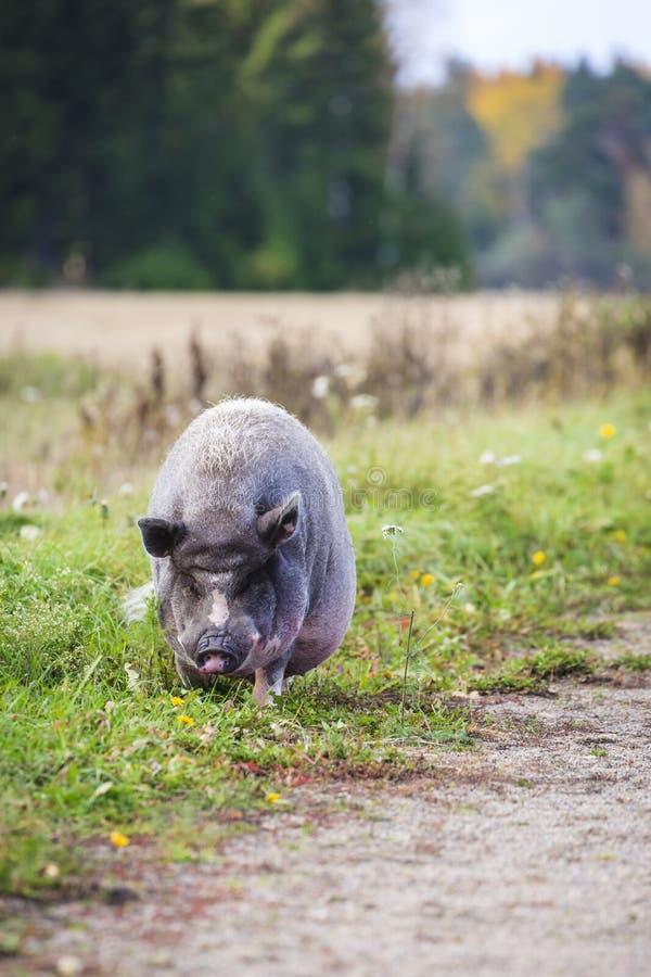 Porc pot-bellied vietnamien image stock