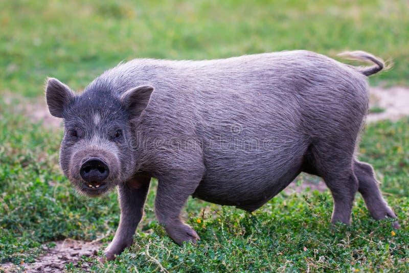 Porc Pot-gonflé vietnamien sur l'herbe photographie stock libre de droits