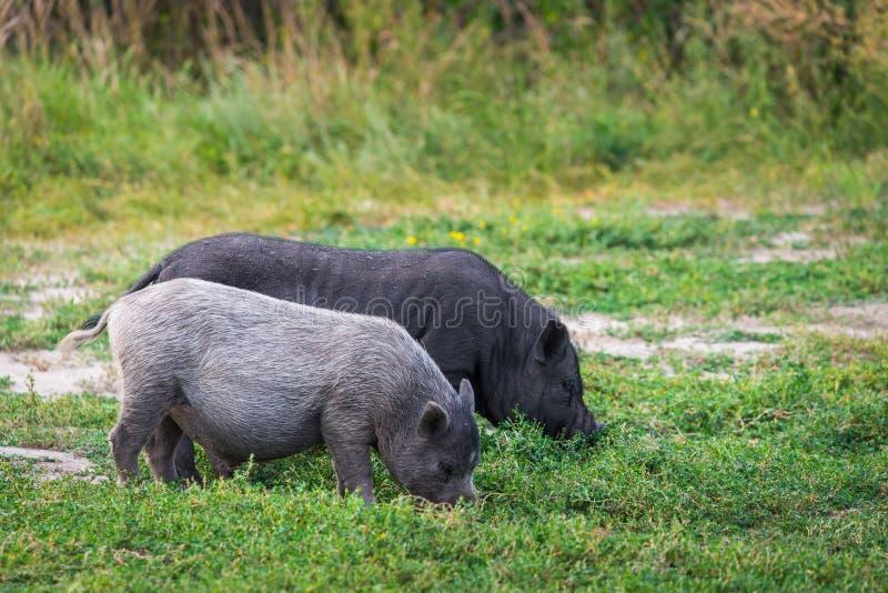 Porc Pot-gonflé vietnamien sur l'herbe image stock