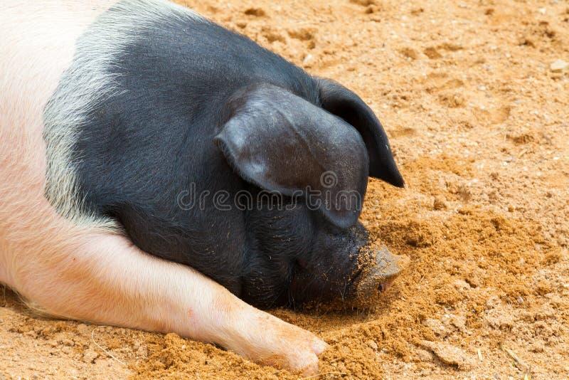Porc rose et noir tout en dormant en dehors de la ferme photos stock