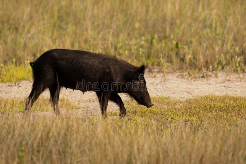 Porc sauvage en Floride photo stock