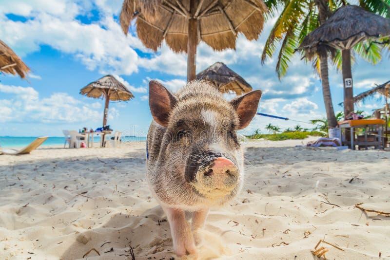 Porc sur la plage Plage modifiée Porcelet sous les palmiers image stock