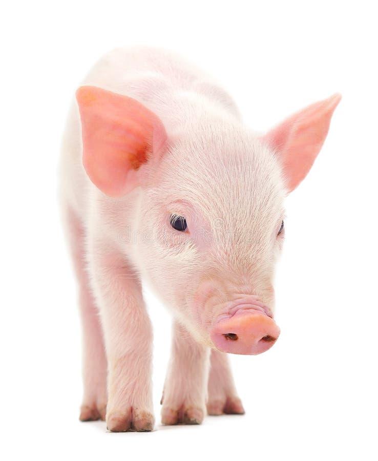 Porc sur le blanc image stock