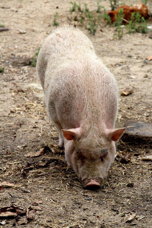 Porc, un porc dans son stylo images libres de droits