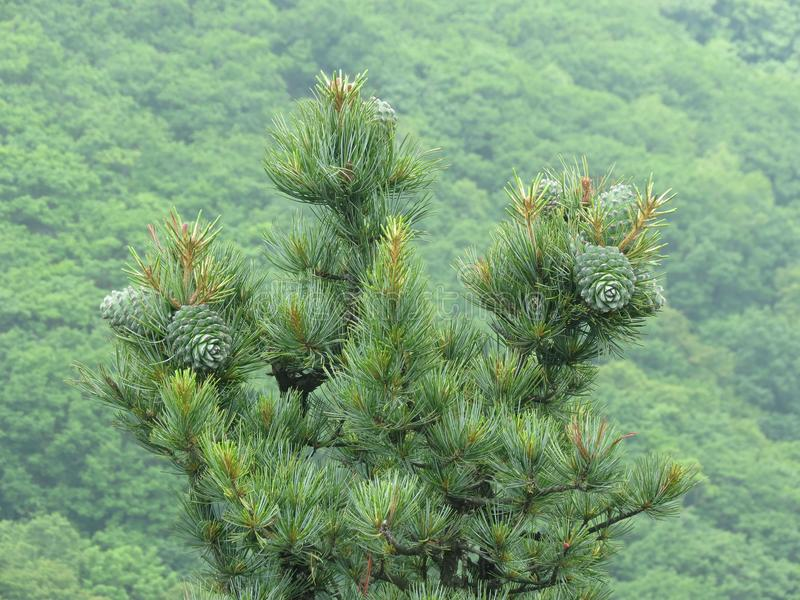 Porca de cedro, madeira do cedro do verde do cone do pinho foto de stock