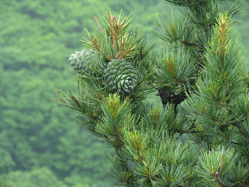 Porca de cedro, verde do cone do pinho Pinhão, protuberância do pinho, madeira do cedro fotos de stock royalty free