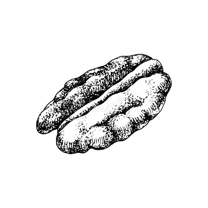 Porca de noz-pecã tirada mão ilustração do vetor