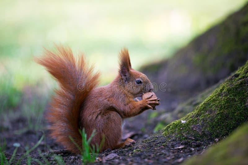 Porca do esquilo o comedor fotografia de stock