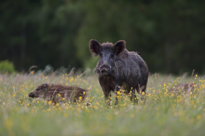 Porca do javali com leitão imagem de stock