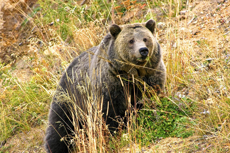 Porca do urso imagem de stock