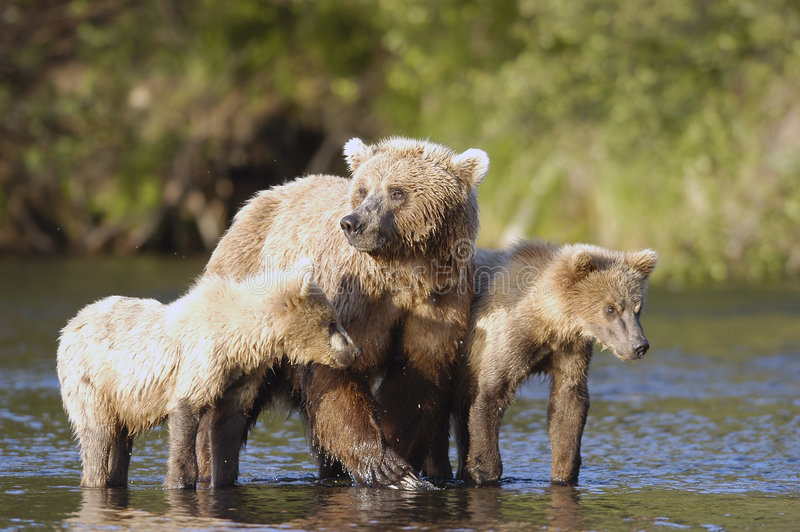 Porca do urso de Brown com seus dois filhotes imagens de stock royalty free