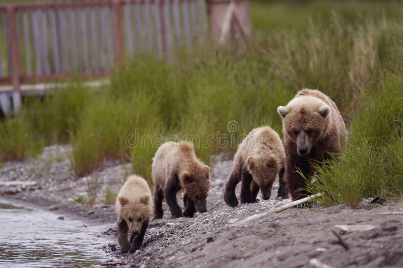 Porca do urso de Brown com seus três filhotes fotos de stock