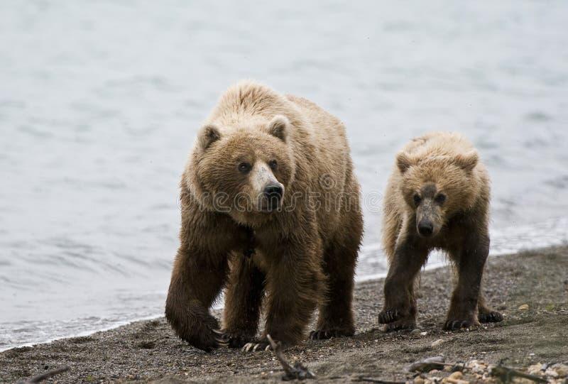 Porca e Cub do urso de Brown fotografia de stock royalty free