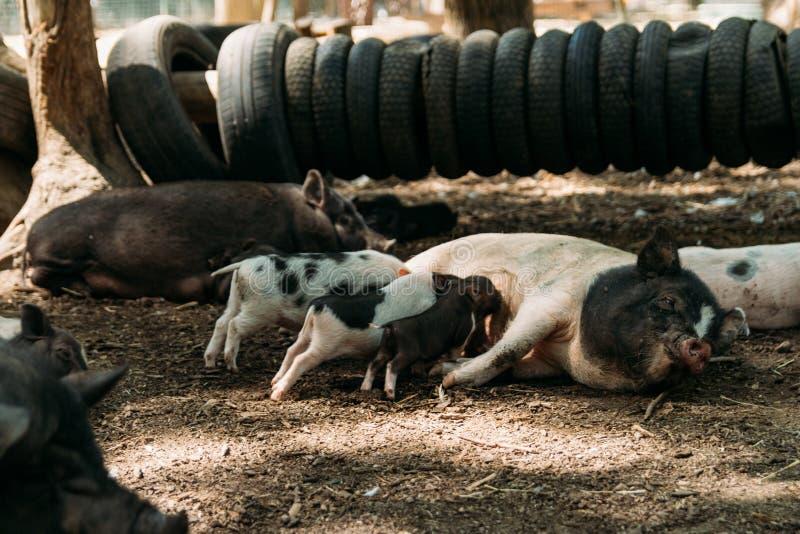 Porca fértil que encontra-se em mamar da palha e dos leitão exploração agrícola, pneus, porcos do vietnamita do jardim zoológico imagem de stock royalty free
