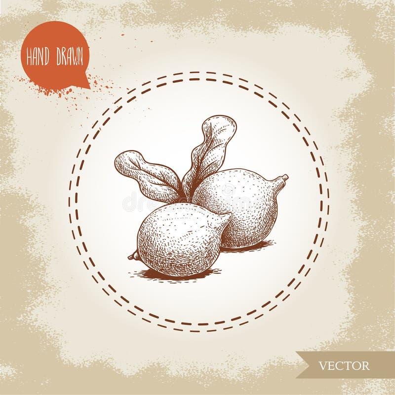 Porcas de macadâmia frescas com folhas Ilustração tirada mão do vetor do estilo do esboço no fundo velho Alimento e ingrediente c ilustração do vetor