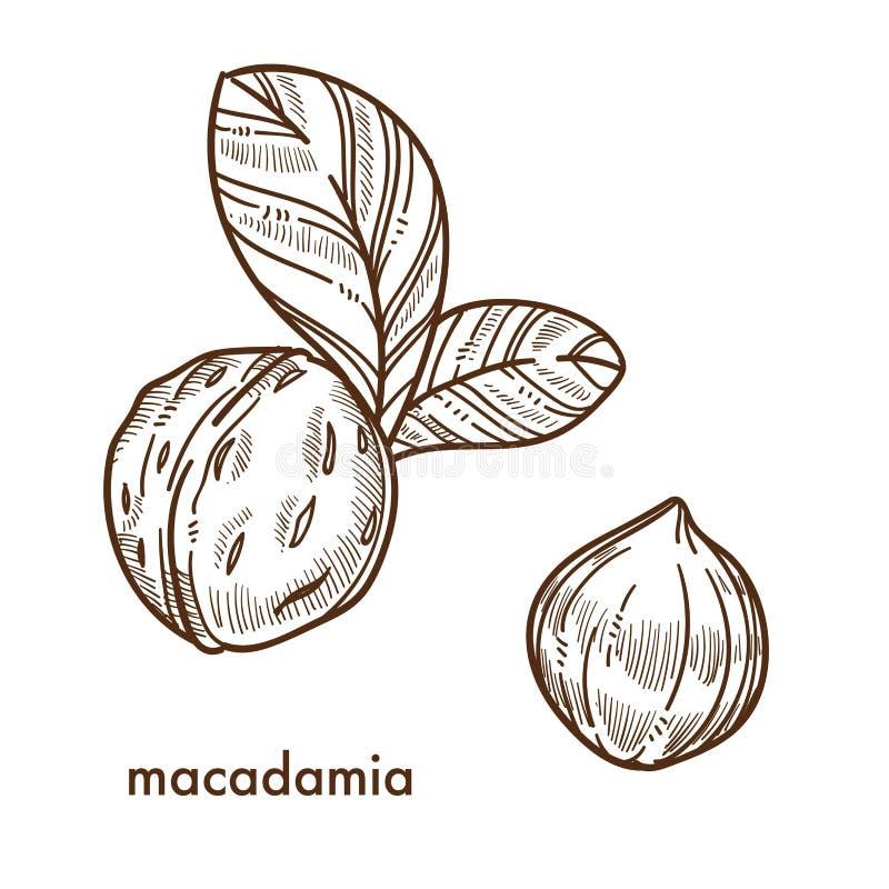 Porcas de macadâmia inteiras no shell com folhas pequenas ilustração royalty free