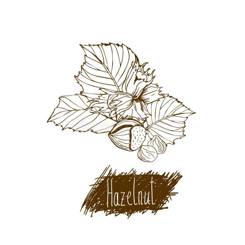 Porcas hazelnut Grupo de ilustrações tiradas mão ilustração royalty free