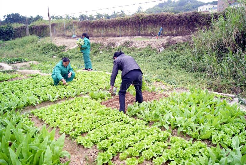 Porcelaine de Shenzhen : légumes grandissants photos stock