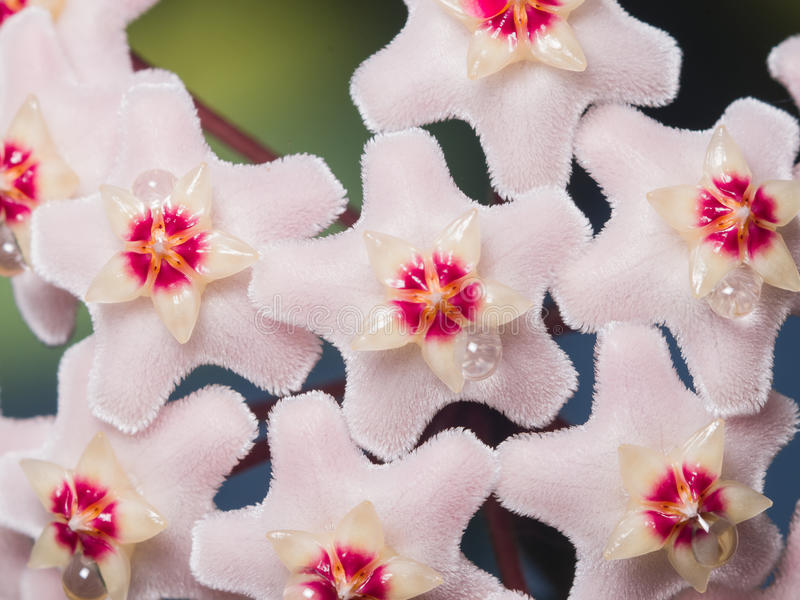 Porcelainflower or wax plant Hoya Carnosa flowers with nectar drops macro, selective focus, shallow DOF stock image