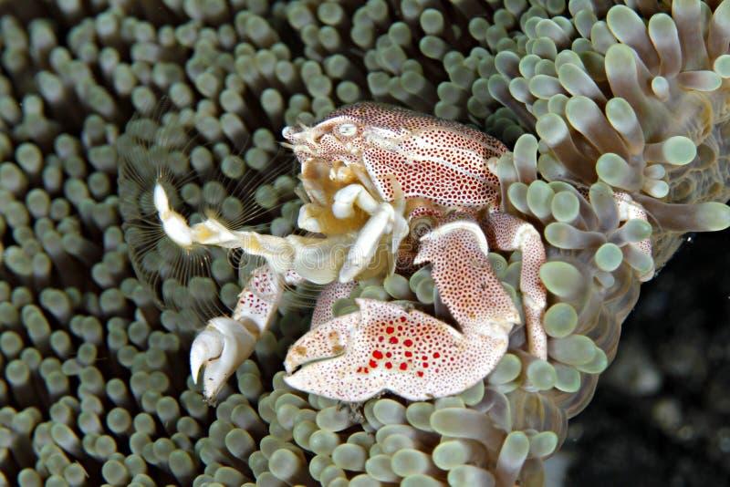 Porcelana anemonowy Krab obrazy royalty free
