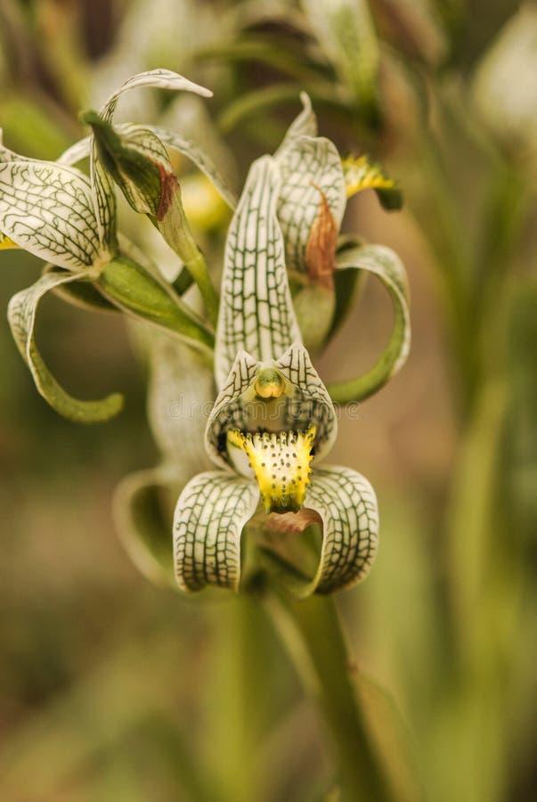 Porcelana u orquídea del mosaico, Chloraea Magellanica, parque nacional de Torres del Paine, Patagonia Chile fotografía de archivo libre de regalías