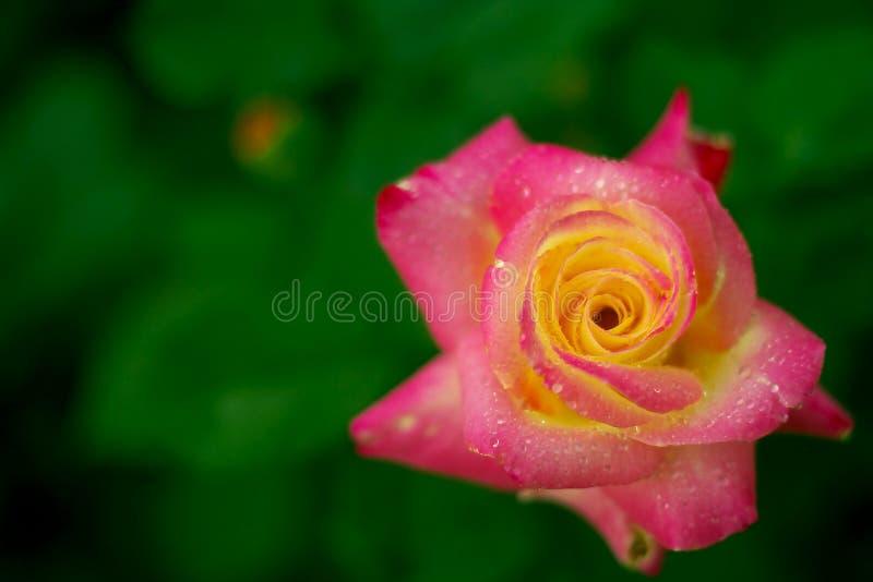 Download Porcelana wzrastał zdjęcie stock. Obraz złożonej z kwiat - 13342700