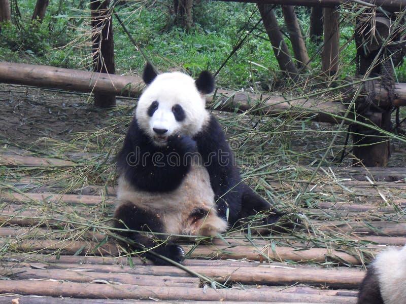 porcelanowa gigantyczna panda fotografia stock