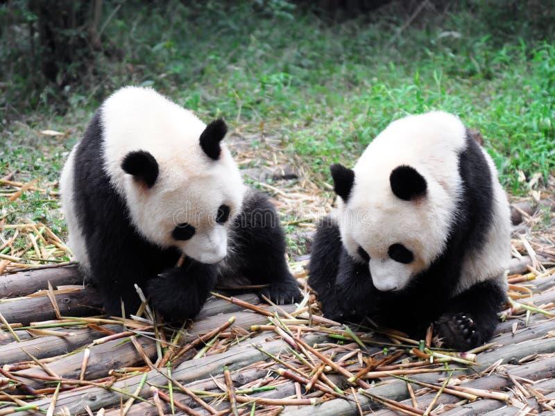 porcelanowa gigantyczna panda fotografia royalty free