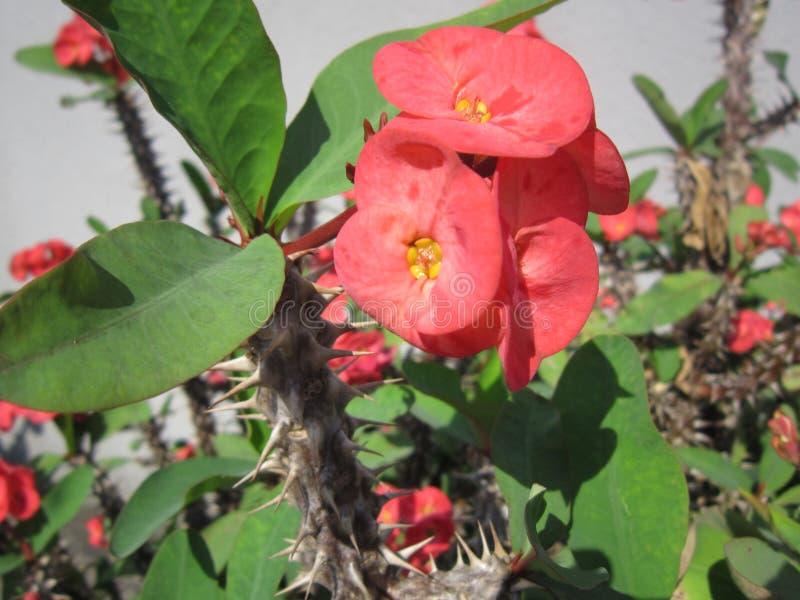 2018; porcelanowa Shenzhen roślina kwitnie w wiośnie zdjęcia royalty free