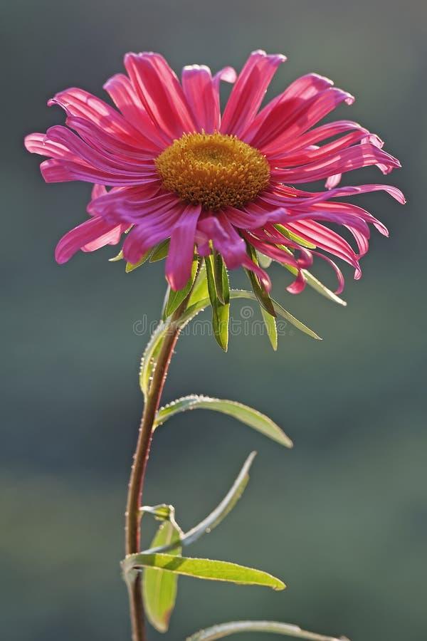 Porcelanowego asteru kwiat obrazy stock