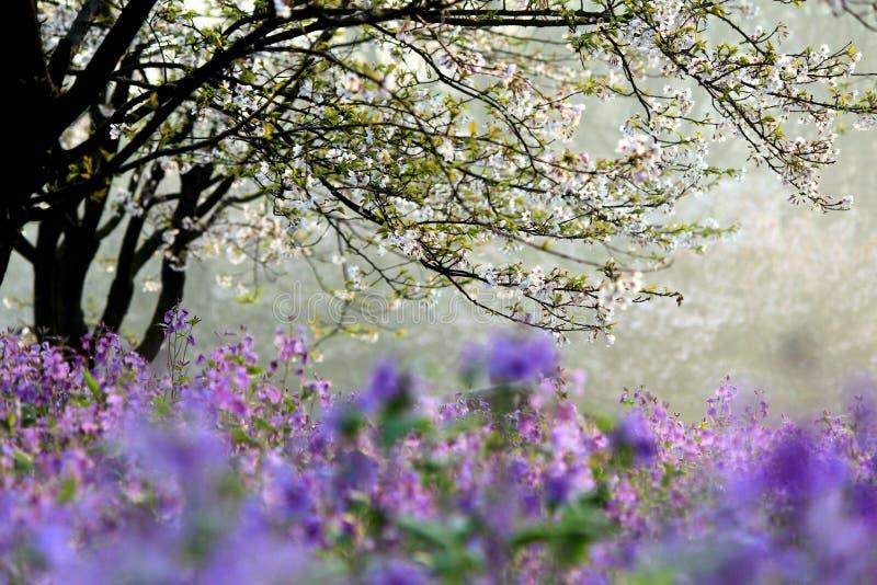 Porcelanowy Hangzhou, Zachodni jezioro, Sakura zdjęcie royalty free