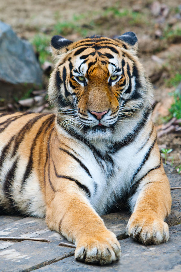 porcelanowy południowy tygrys fotografia stock