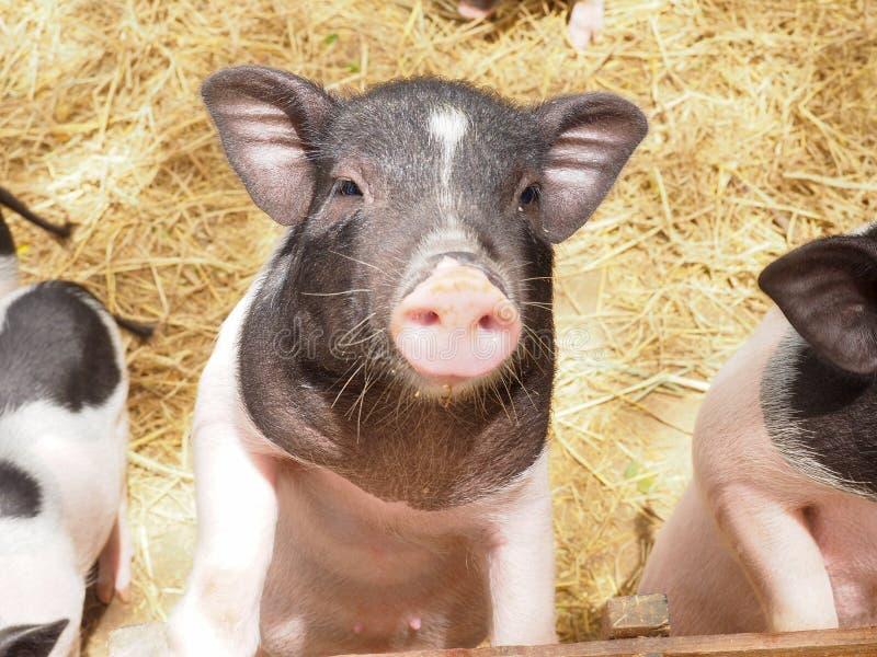 Porcelet dans l'industrie de ferme de porc images stock