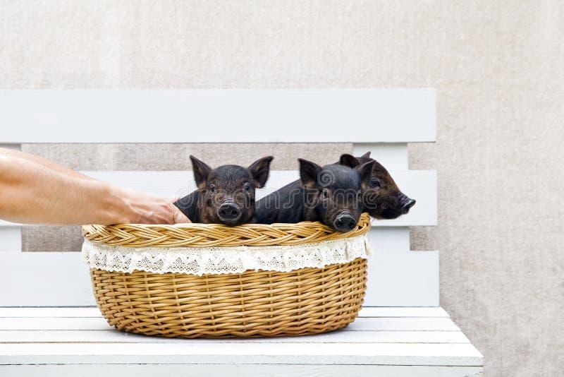 Porcelet de porc peu de prise heureuse mignonne en osier trois de main de nouvelle année de race de Vietnamien de fond blanc noir image stock