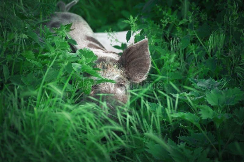 Porcelet mignon marchant le temps d'herbe au printemps Porcs frôlant à moi image libre de droits