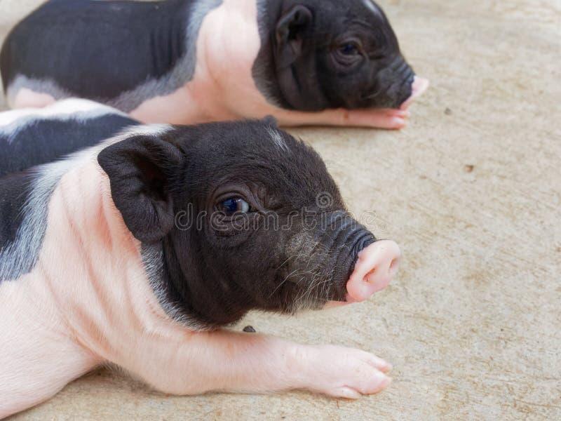 Porcelets nouveau-nés de rose et de noir regardant et regardant fixement dans la ferme photos libres de droits